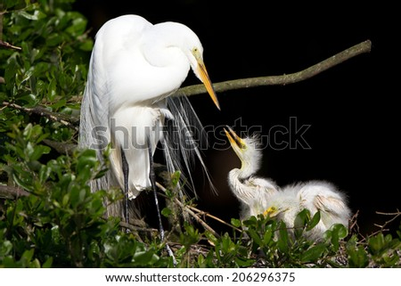 Great Egret chick reaches up to his mother in the nest - stock photo