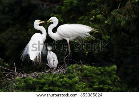 Baby White Egret
