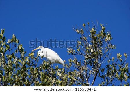 Great Egret Ding Darling Wildlife Refuge Sanibel Florida - stock photo