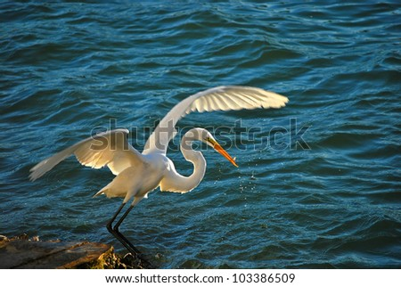 Great Egret Fishing, St Petersburg Florida