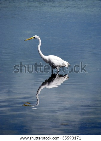 Great Egret, Florida Keys - stock photo