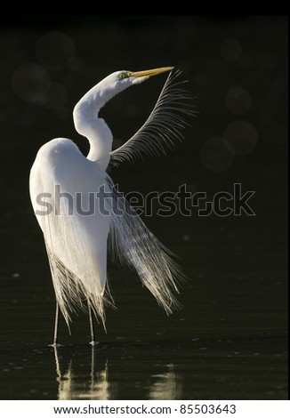 Great Egret grooming in the morning. Latin name - Ardea alba. - stock photo