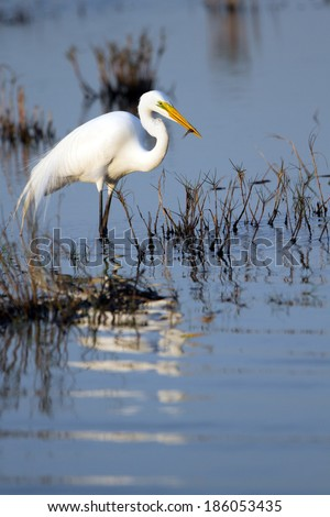 Great Egret has caught a fish in Merritt Island National Wildlife Refuge in Florida - stock photo