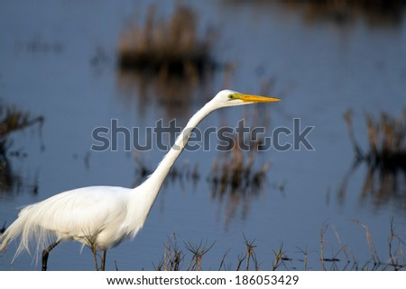Great Egret in breeding plumage at sunset in Merritt Island National Wildlife Refuge in Florida - stock photo