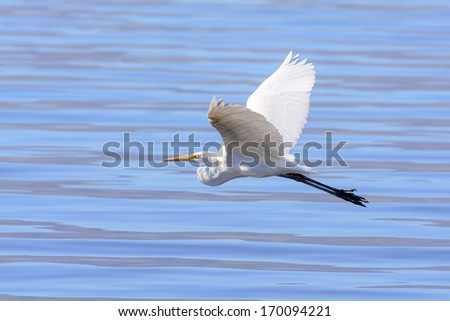 Great Egret in flight over the water - stock photo