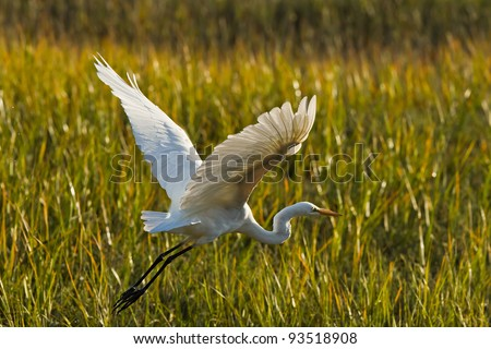 Great Egret in flight. The Great Egret (Ardea alba), also known as the Great White Egret or Common Egret. - stock photo