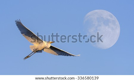 Great egret in flight to the Moon. - stock photo