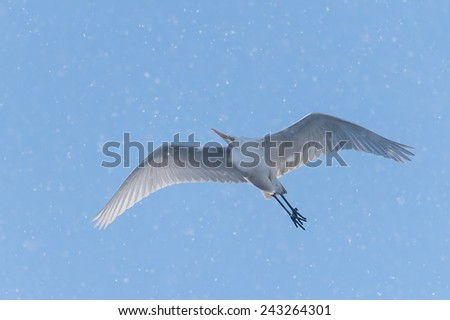 Great egret in flight with backlight, surrounded by many snowflakes - stock photo