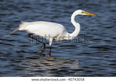 Great Egret male in breeding plumage - stock photo