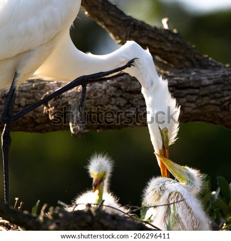 Great Egret mother tends her chicks in the nest - stock photo