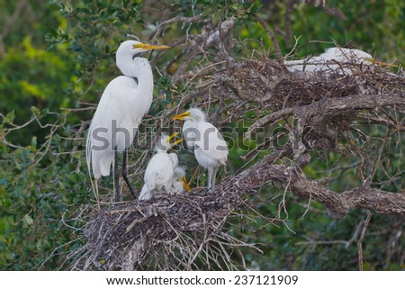 Great Egret nest with chicks - stock photo
