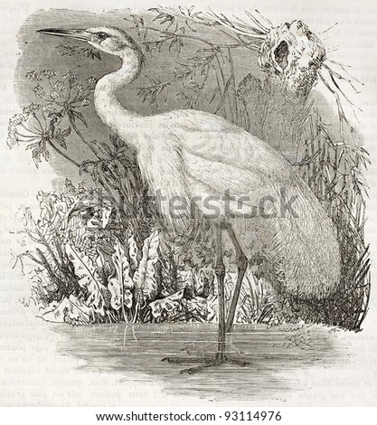 Great Egret old illustration (Ardea alba). Created by Kretschmer and Illner, published on Merveilles de la Nature, Bailliere et fils, Paris, ca. 1878 - stock photo