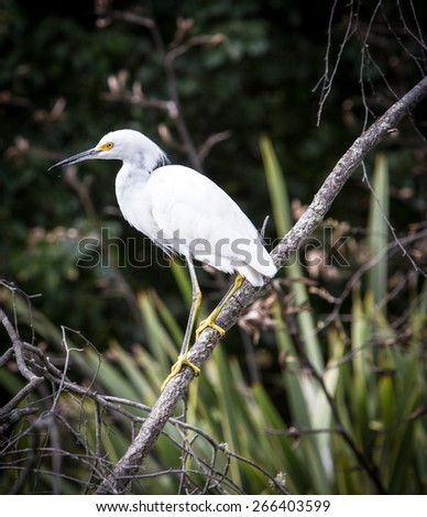 Great Egret on a branch - stock photo