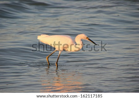 Great Egret on Beach at Sunrise Sanibel Florida - stock photo