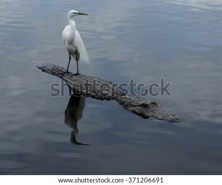 Great Egret on the back of an alligator