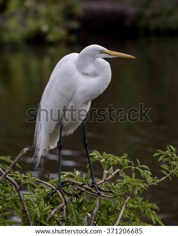 Great Egret perched on small tree at the water's edge