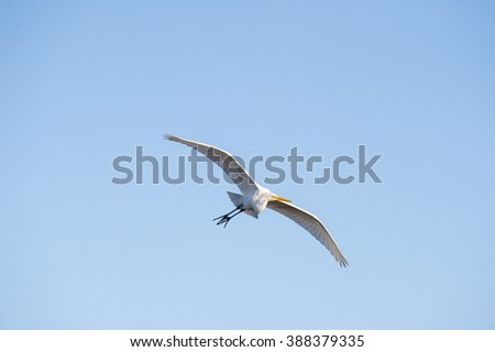 Great Egret soaring across cloudless blue sky - stock photo