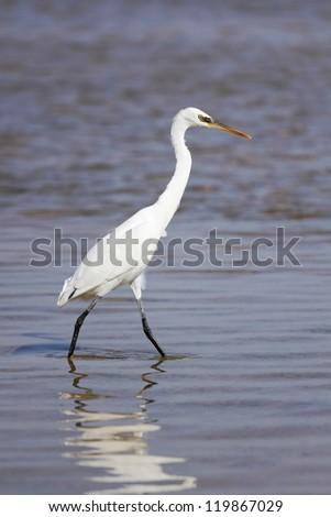 Great Egret walking - stock photo
