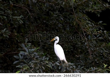Great Egret with branch for nest