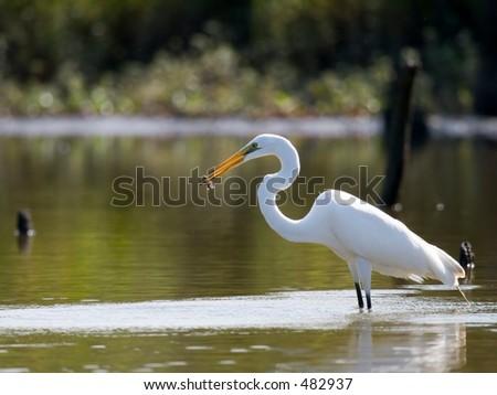 Great Egret with fish.  Shot at Armand Bayou near Houston, Texas. - stock photo