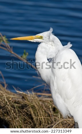 Great Egrets are a widespread species, are always white and often gather in loose flocks and feed mainly on fish captured in open water. - stock photo