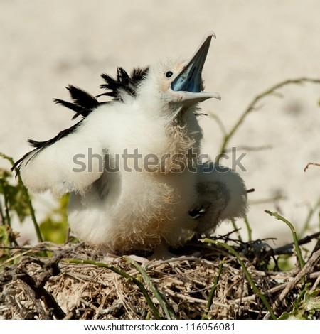 Great frigatebird (Fregata minor) chick calling in its nest, Genovesa Island, Galapagos Islands, Ecuador - stock photo