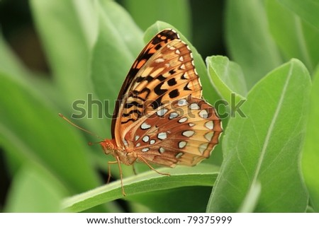 Great fritillary butterfly resting on a plant - stock photo