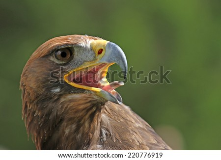 Great Golden Eagle with a beak Bill and bright eyes - stock photo