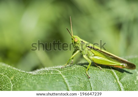 Great grasshopper with amazing detail - stock photo