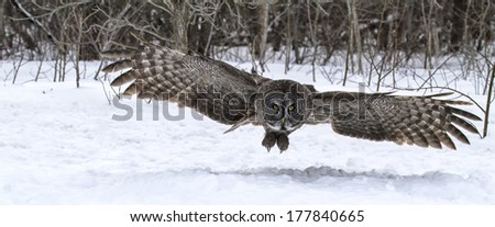 Great gray owl catches prey in the snow.  Flight shot with open wings.  Winter in Winnipeg, Manitoba, Canada - stock photo