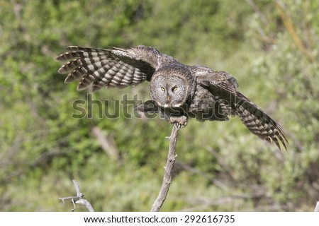 Great Gray Owl in Grand Teton National Park - stock photo