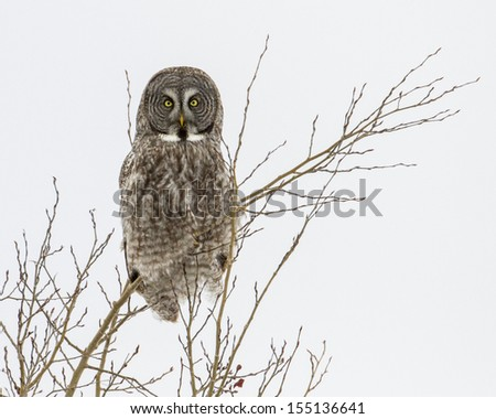 Great gray owl is perched in a tree.  This was found in eastern Idaho. - stock photo