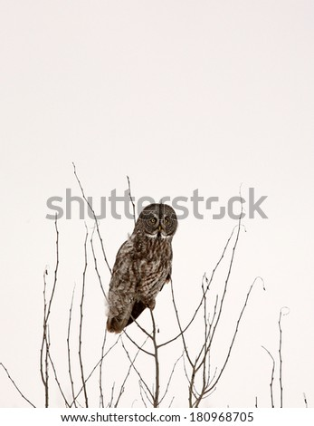 Great Gray Owl perched in bare tree - stock photo