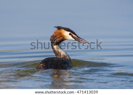 great grebe on blue water background