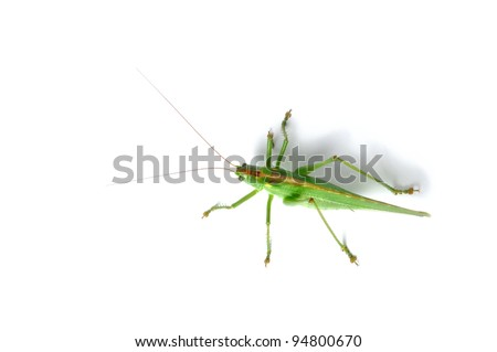 Great Green Bush-Cricket (tettigonia viridissima) isolated on white background