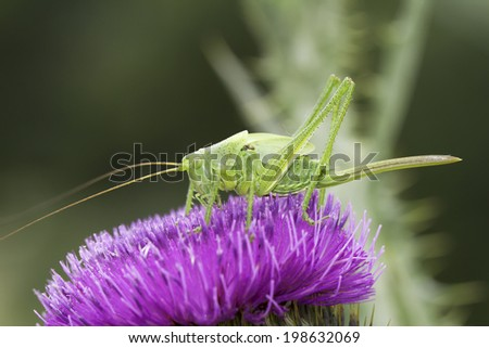 Great green bushcricket close-up / Tettigonia Viridissima  - stock photo
