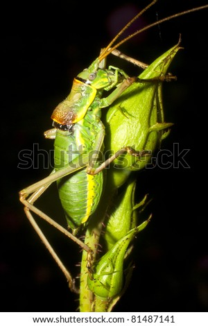 Great green bushcricket on the rose (Tettigonia Viridissima)