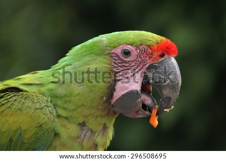 Great green macaw (Ara ambiguus), also known as the great military macaw or Buffon's macaw. Wildlife animal.  - stock photo