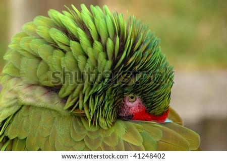 Great Green Macaw hiding his beak and fluffing up feathers - stock photo