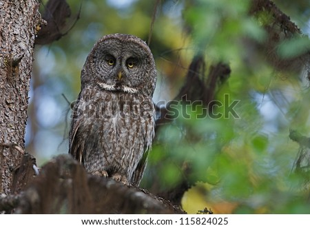 Great Grey Gray Owl, Strix nebulosa, the largest owl in North America, in natural forest habitat, northern Washington, near the Canada border - stock photo