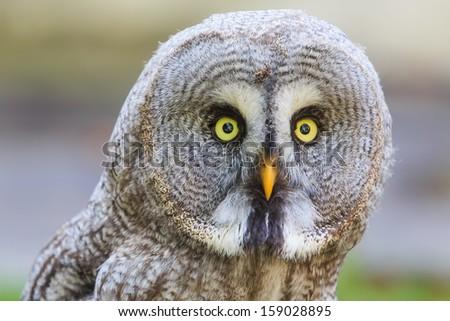 Great Grey Owl close up - stock photo