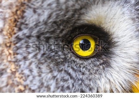 Great Grey Owl has yellow eyes - stock photo