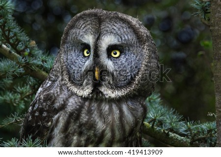 Great Grey Owl head and shoulders. A close up view of a great grey owl showing the fine detail in its facial plumage. - stock photo