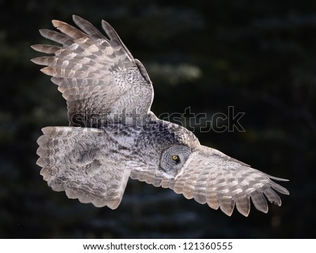 Great Grey Owl Hunting