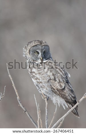 Great Grey Owl in tree looking for prey - stock photo