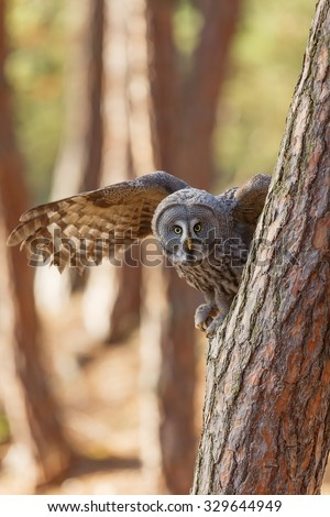 Great Grey Owl is starting from tree - stock photo