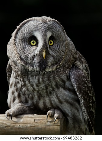 Great Grey Owl isolated over black background - stock photo
