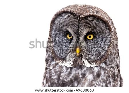 Great Grey Owl or Lapland Owl (Strix nebulosa) isolated on a white background. - stock photo