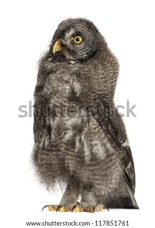 Great Grey Owl or Lapland Owl, Strix nebulosa, 3 months old against white background - stock photo