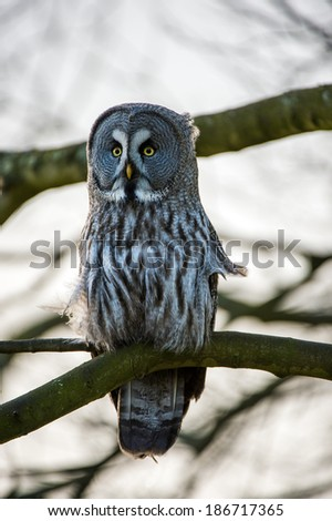 Great Grey Owl perched in tree/Great Grey Owl/Great Grey Owl